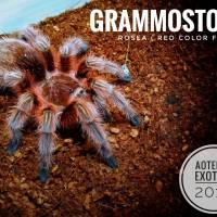 Grammostola Rosea Red color Form Tarantula