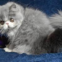 Kucing/kitten persia peaknose maka bello longhair