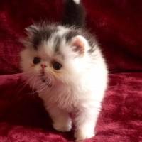 Kucing/kitten persia peaknose body sehat
