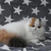 Kucing/kitten persia peaknose sangat mulus yang dibawah