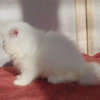 Kucing/kitten persia peaknose sangat mulus