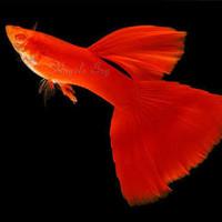 ikan hias aquascape guppy full red remaja