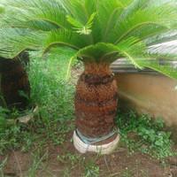 Palem sikas/palm cikas untuk taman minimalis