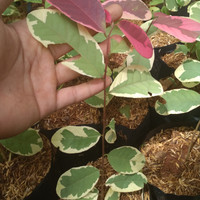 tanaman red tiping/ redtiping