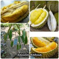Paket 3 Bibit Durian Musangking-Montong-Tembaga