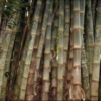 Bibit Pohon Bambu Petung Betung Kultur Jaringan