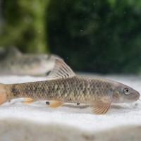 Ikan Hias GarraRufa/Garra rufa