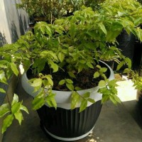 Tanaman Tanaman Anting putri (bahan bonsai)