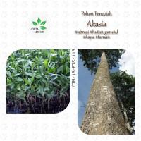 Bibit Pohon Akasia Mangium - Hias Kayu Acacia Daun Peneduh Taman Hutan
