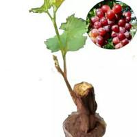 TANAMAN Bibit Anggur Red Prince