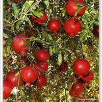 Delima Merah Jual Bibit Tanaman Buah Delima Merah Pomegranate
