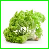 Bibit Benih Biji Sayur Salada Hijau / Green Salad Import