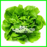 Bibit Benih Biji Sayur Selada Buttercrunch / Buttercrunch Salad Import