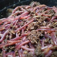 Cacing tanah Lumbricus Rubellus