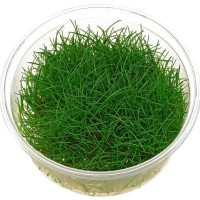 tanaman aquascape dwarf hairgrass cup