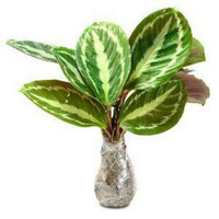 tanaman hias calathea silverback | kalatea silverback