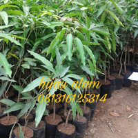 bibit tanaman mangga harum manis