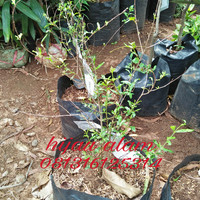 bibit tanaman pohon delima / bibit pohon delima