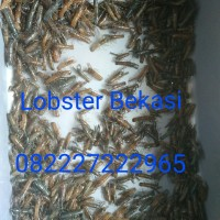 Lobster Air Tawar Bibit 1,5inch