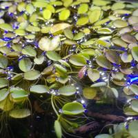 Salvinia tanaman apung nano aquarium udang hias / aquascape / kolam