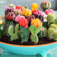 Benih / Bibit / Biji Tanaman Hias Kaktus (Cactus Seeds) - Flowers of the Desert - IMPORT