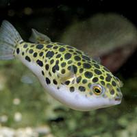 Ikan Buntal Green Spotted Tutul Macan Hiasan Aquascape Aquarium Hias