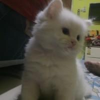 jual ceptan kitten persia medium