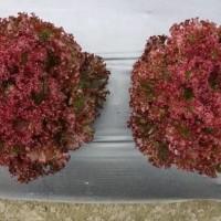 MGI 200 benih selada merah salad olga red bibit tanaman sayur sayuran