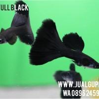 Guppy Special Full Black Grade A+ Thailand (PROMO)