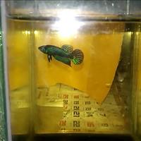 Ikan Cupang Mahachai/ Wild Betta Mahachai