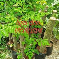 tanaman kelor / pohon kelor / pohon pengusir hantu / pohon anti jimat