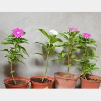 Bibit Tanaman Bunga Vinca (Tapak Dara)_Treated Organically