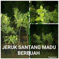 Harga Jeruk Santang Hargano.com