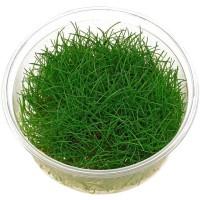 MURAH! tanaman aquascape dwarf hairgrass cup