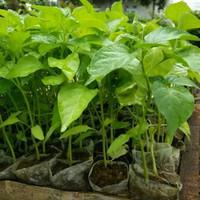Bibit tanaman cabe rawit putih/cabai rawit putih (10pcs)