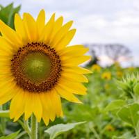 Bibit tanaman bunga matahari helianthus annuus
