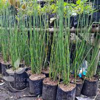 Bibit pohon bambu hias/pohon bambu air