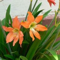 Bibit Bunga Amarilis/Amaryllis orange/Amarilis Dutch Sovereign