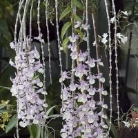 Tirai Dendrobium aphyllum