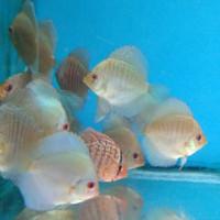 Harga Ikan Discus Borongan Hargano.com