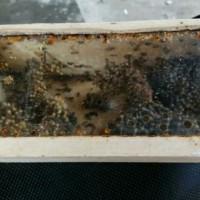 Bibit Klanceng Kelulut Ternak Lebah Madu