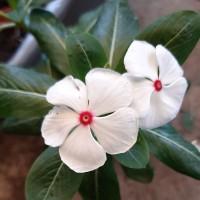 Bibit Tanaman Bunga Vinca/Tapak Dara_White Fuschia_Treated Organically
