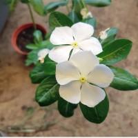 Bibit Tanaman Bunga Vinca/Tapak Dara_White white_Treated Organically