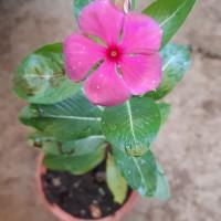Bibit Tanaman Bunga Vinca/Tapak Dara_Fanta Fuschia_Treated Organically