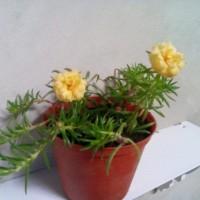 Bibit Tanaman Bunga Portulaca/ Moss Rose/ Krokot Double Petal Yellow