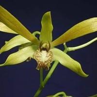 Bibit Botolan Dendrobium mirbelianum sp