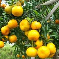 Bibit tanaman jeruk Mangse Tinggi 1 meter up KONDISI PERNAH BERBUAH