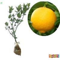 Bibit tanaman jeruk Lemon jumbo Tinggi 70 cm up