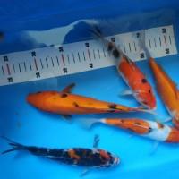 Harga Ikan Koi Lokal Travelbon.com