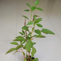 Ginseng merah korea | bibit tanaman ginseng merah korea